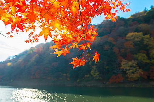 arashiyamakouyou01